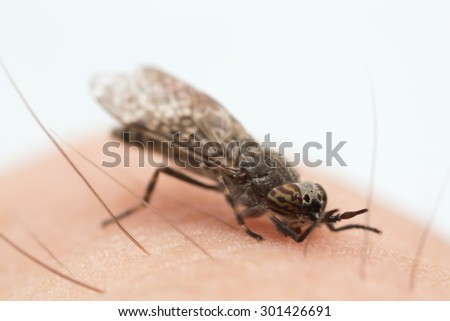 Common horsefly, haematopota pluvialis sucking blood, copy space in the photo - stock photo
