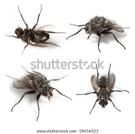 Common house fly (Musca Domestica) isolated on white background. - stock photo