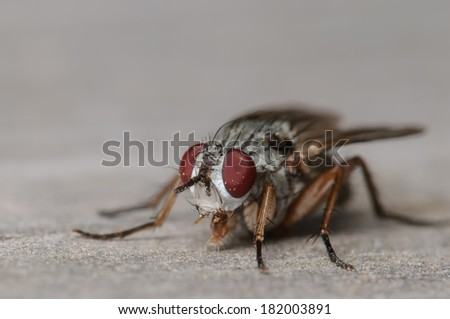 Common House fly on a Grey Surface