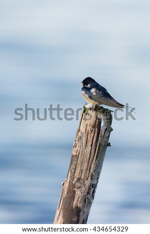 common house Martin on wooden pole in water - stock photo