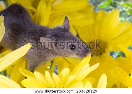 Common house mouse (Mus musculus) in flowers yellow chrysanthemums - stock photo