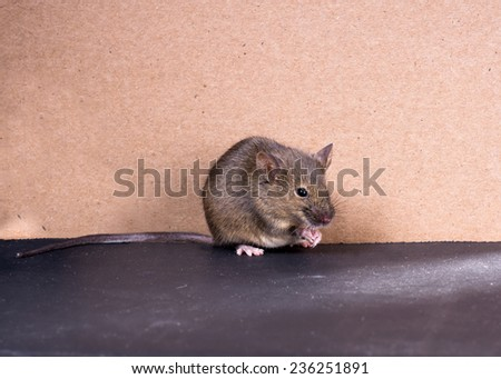 Common house mouse (Mus musculus) on a gray background - stock photo