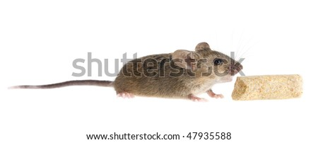 Common house mouse (Mus musculus) on a white background and a piece of feed - stock photo