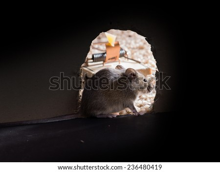 Common house mouse (Mus musculus) sits at the entrance of the burrow, and going to eat cheese from a mousetrap - stock photo