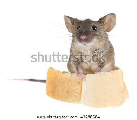 Common house mouse (Mus musculus) speaker at the rostrum of bread crust - stock photo