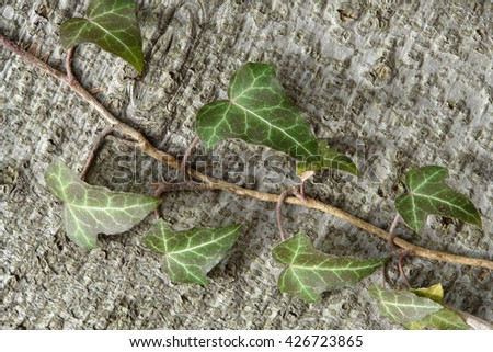 Common ivy on background of beech tree                                - stock photo