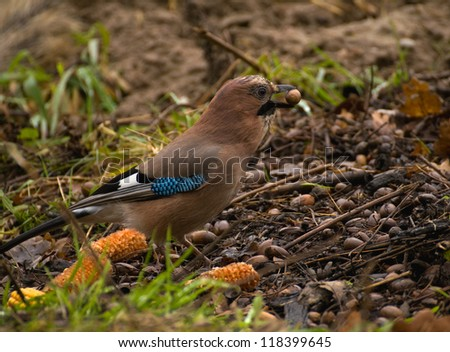 Common Jay, Jay - Garrulus glandarius