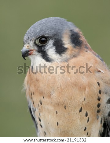 Common Kestrel (Falco tinnunculus) portrait. - stock photo