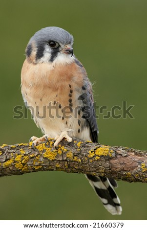 Common Kestrel (Falco tinnunculus) posing. - stock photo
