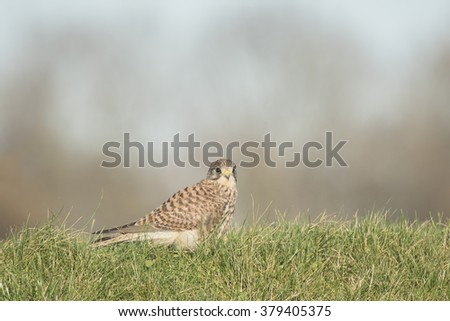 Common Kestrel (falco tinnunculus) rests after hunting in open grassland. Just finished her prey after the kill, blood still on her beak. - stock photo