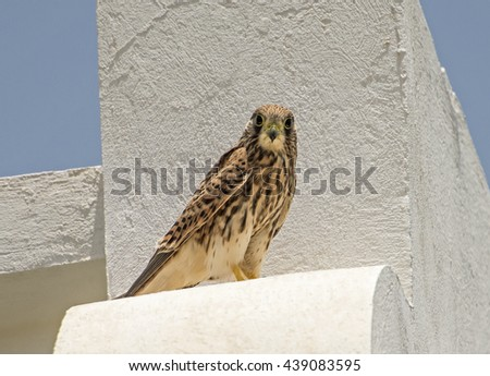 Common kestrel falco tinnunculus wild bird perched on ledge of an urban building - stock photo