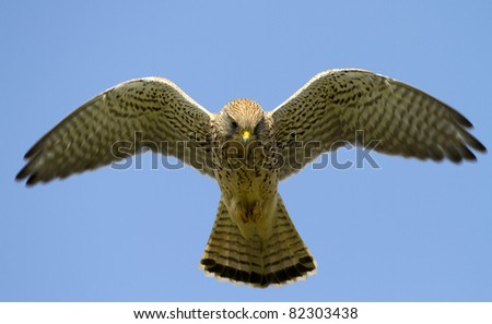 Common Kestrel fyling in the sky - stock photo