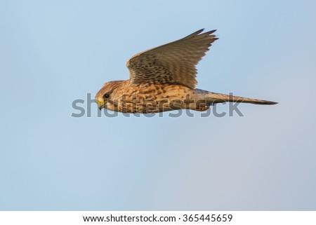 common kestrel in flight - stock photo