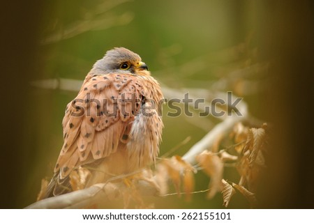 Common kestrel on tree branch in the forest - stock photo