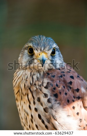 Common Kestrel or Falco Tinnunculus portrait looking directly at you - stock photo