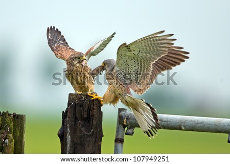 Common Kestrel prey transfer. - stock photo