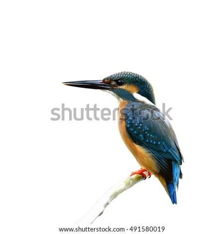Common kingfisher (Alcedo atthis) a beautiful blue bird perching on the stick isolated on white background, fascinating nature