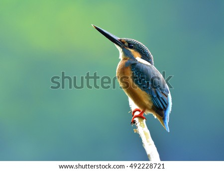 Common kingfisher (Alcedo atthis) a beautiful blue bird showing its back feathers perching on the branch looking up the sky, fascinated nature