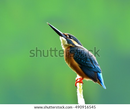 Common kingfisher (Alcedo atthis) a beautiful small blue bird with puffy feathers lonely perching on the branch over pastel blur green background, amazing nature