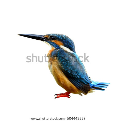 Common Kingfisher (Alcedo atthis) Eurasian or River Kingfisher, beautiful blue bird with pale brown belly to chest feathers has funny wagging tail isolated on white background, fascinated nature