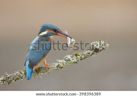 Common kingfisher (Alcedo atthis)Landscape format,female,perched against a diffuse pale brown background,spring in Oxfordshire,with minnows
