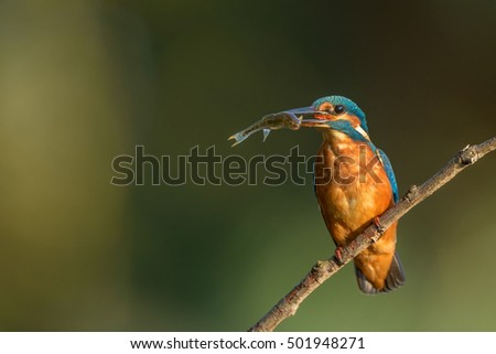 Common kingfisher (Alcedo atthis) on a branch with a fish in its beak.