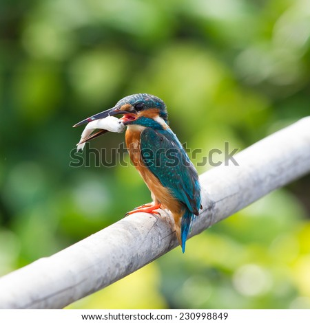 Common Kingfisher (Alcedo atthis) standing on a branch with the fish in his mount - stock photo