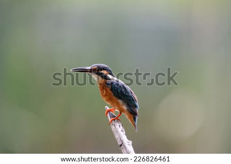 Common kingfisher Bird. - stock photo