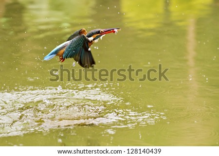 common kingfisher catch fish in flight in natural habitat,Alcedo atthis - stock photo