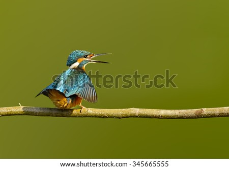 Common kingfisher Common kingfisher with green backdrop. - stock photo
