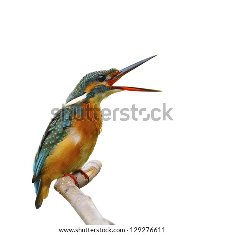 Common Kingfisher (female), isolated on white background - stock photo