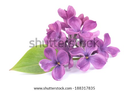 Common lilac - stock photo
