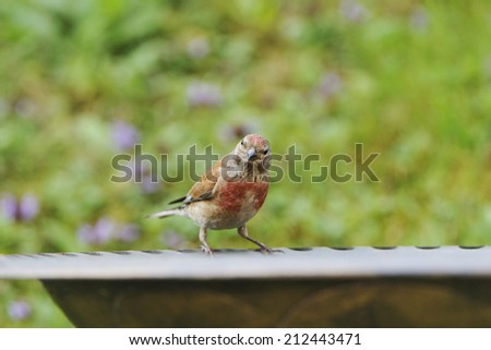 Common linnet when drinking. - stock photo