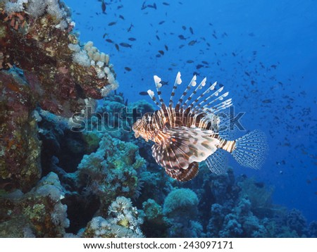 Common lionfish in red sea - stock photo