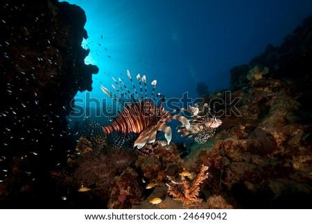 common lionfish (pterois miles) - stock photo