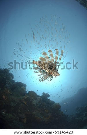 Common Lionfish (Pterois miles), swimming underneath a school of small bait fish Red Sea, Egypt. - stock photo