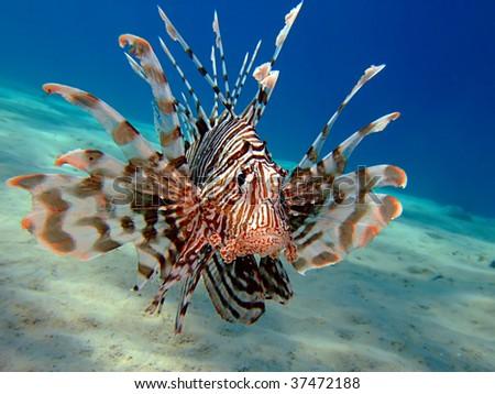 Common Lionfish. (Pterois miles). Taken at Marsa Bareika in Egypt. - stock photo