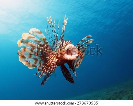 Common lionfish yawn (Pterois miles) - stock photo