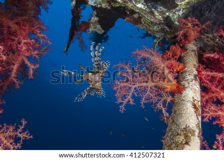 Common Lionfisn Pterois Volitans living on a shipwreck. Red soft corals Dendronephthya - stock photo
