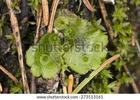 Common liverwort, Marchantia polymorpha  - stock photo