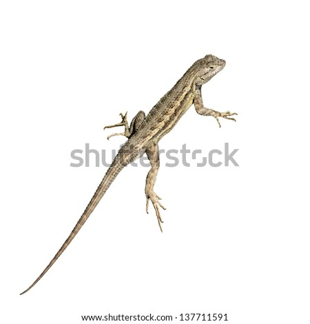 Common Lizard, isolated on white. - stock photo
