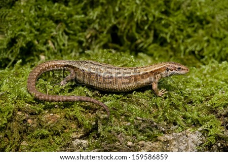Common Lizard, Lacerta vivipara, single animal in Dorset  - stock photo