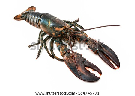 Common lobster isolated on a white studio background - stock photo