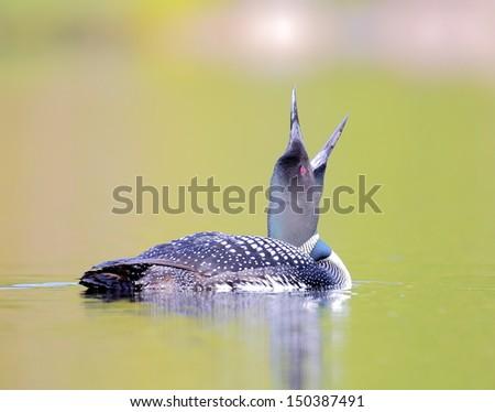 Common Loon - stock photo