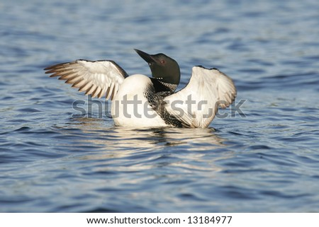 Common Loon Flapping his Wings