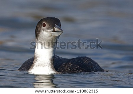 Common Loon / Great Northern Diver, in non-breeding plumage, swimming on the Columbia River in Washington during spring migration; Pacific Northwest wildlife / nature / outdoors - stock photo