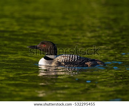 Common Loon in breeding plumage swimming on a north woods lake in Wisconsin.