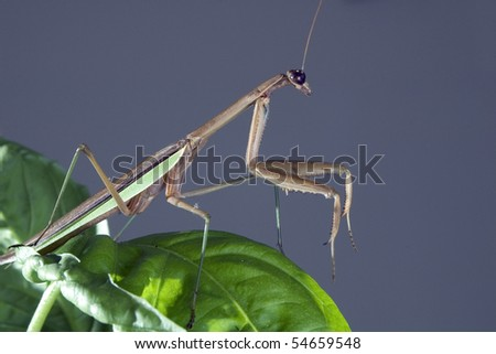 Common mantis (Mantis religiosa)