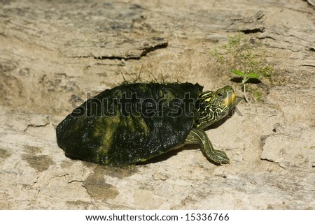 Common Map Turtle (Graptemys geographica) - stock photo