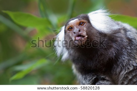Common Marmoset peeking out from the leaves - stock photo